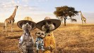 1414864927069_Image_galleryImage_Compare_the_Meerkat_adver